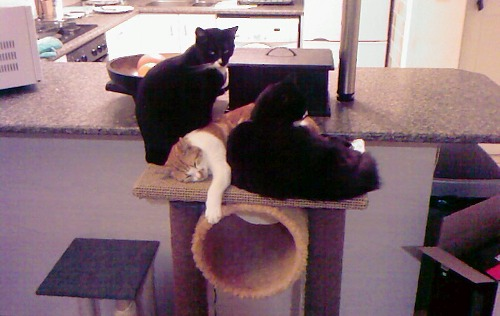 Achilles Olympus Coco Duke it out on Scratching Post