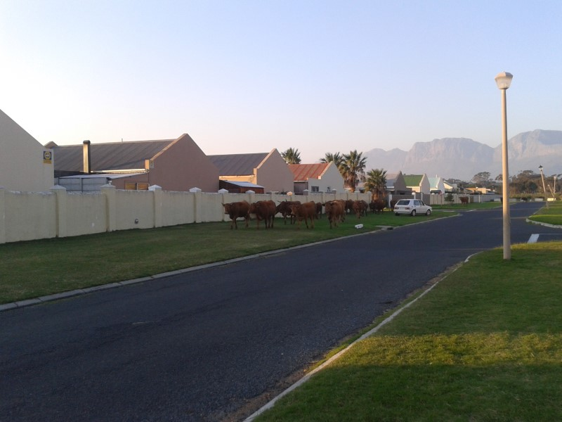 cows walking in gordon's bay suburb 1