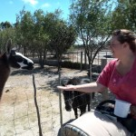 IMG_20150307_140528 chantelle lotter feeding a llama at the giraffe house