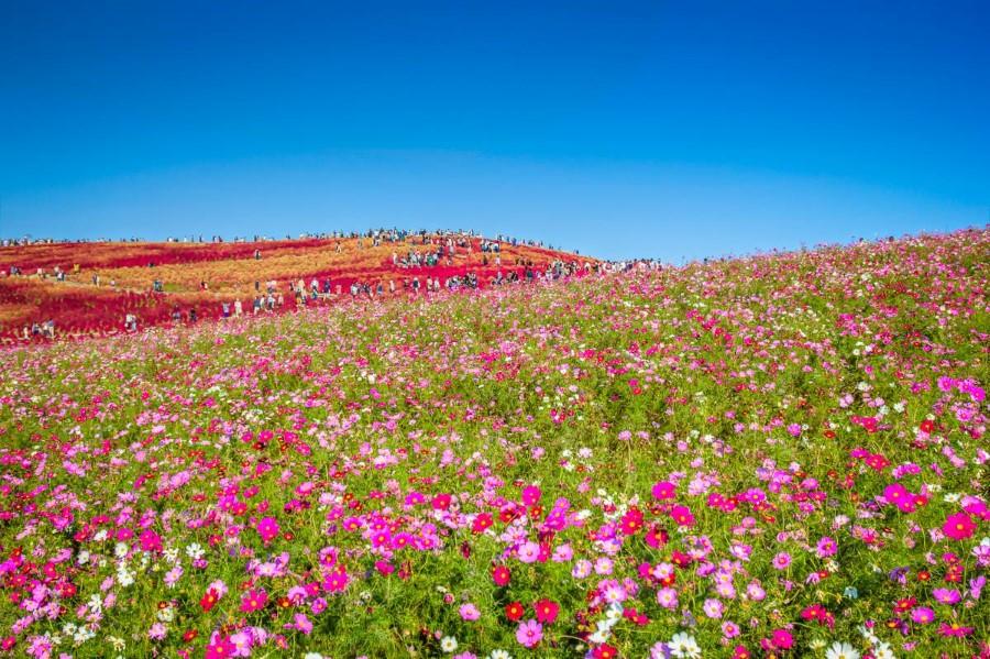 Hitachi Seaside Park in Hitachinaka, Ibaraki, Japan - cosmos flowers