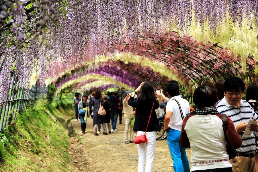 The Wisteria Flower Tunnel of Kawachi Fuji Garden, Kitakyushu, Kyushu, Japan 2