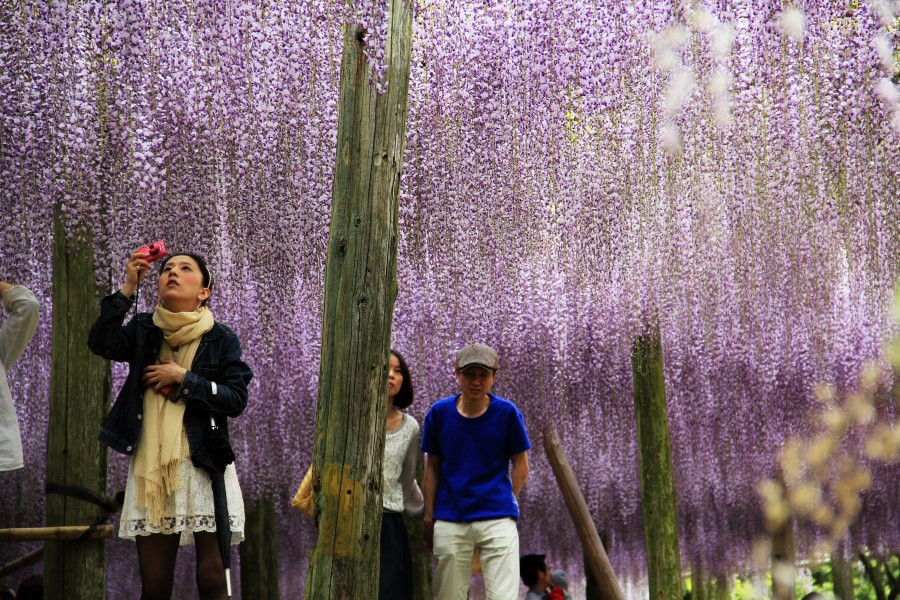 The Wisteria Flower Tunnel of Kawachi Fuji Garden, Kitakyushu, Kyushu, Japan 3
