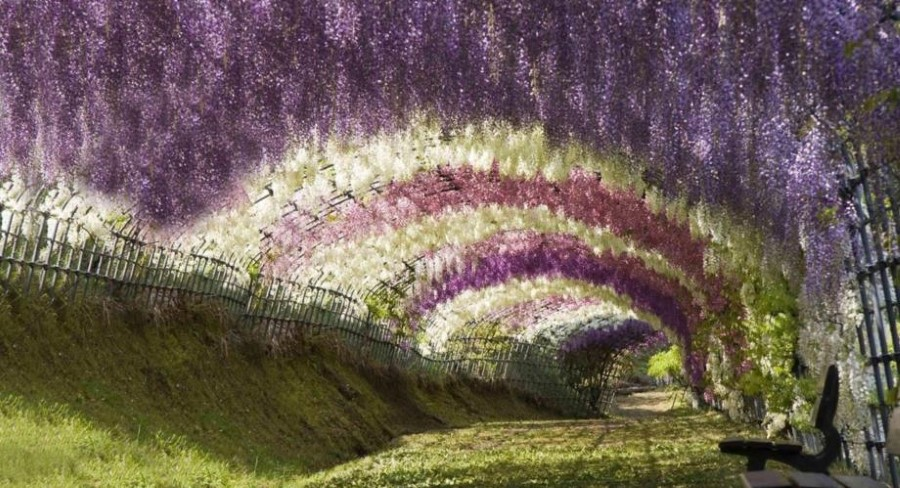 The Wisteria Flower Tunnel of Kawachi Fuji Garden, Kitakyushu, Kyushu, Japan 4