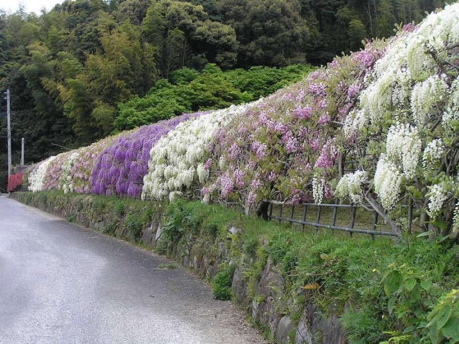 The Wisteria Flower Tunnel of Kawachi Fuji Garden, Kitakyushu, Kyushu, Japan 6