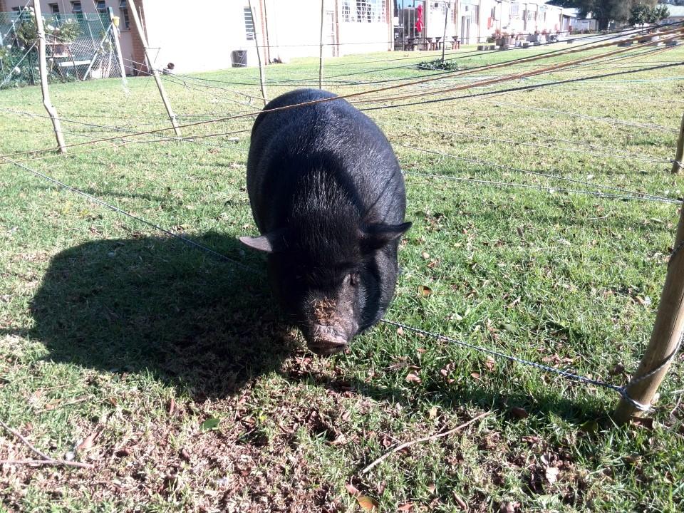 IMG_20150707_140019 fanie die vark pig at platform 62 in ashton