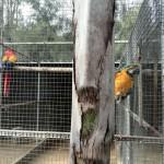 IMG_20150708_120142 macaws at birds paradise exotic bird breeder in robertson