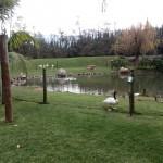IMG_20150708_123512 duck pond at birds paradise exotic bird breeder in robertson