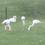 IMG_20150708_130320 flamingos at birds paradise exotic bird breeder in robertson