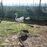 IMG_20150808_105252 flamingos at the giraffe house wildlife awareness centre