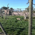 IMG_20150808_105746 serval at the giraffe house wildlife awareness centre