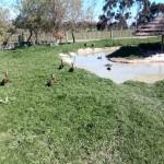 IMG_20150808_121844 ducks at the giraffe house wildlife awareness centre