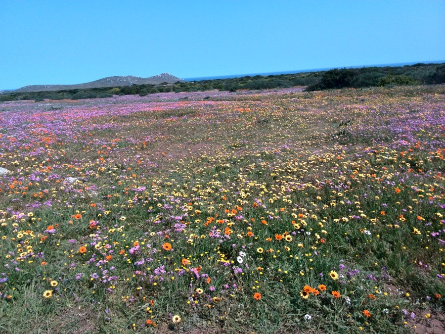 IMG_20150913_125650 wild flowers in the postberg nature reserve at the west coast national park
