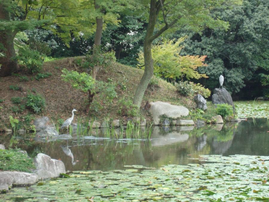 DSC07501 white egret on pond at shosei-en garden in kyoto