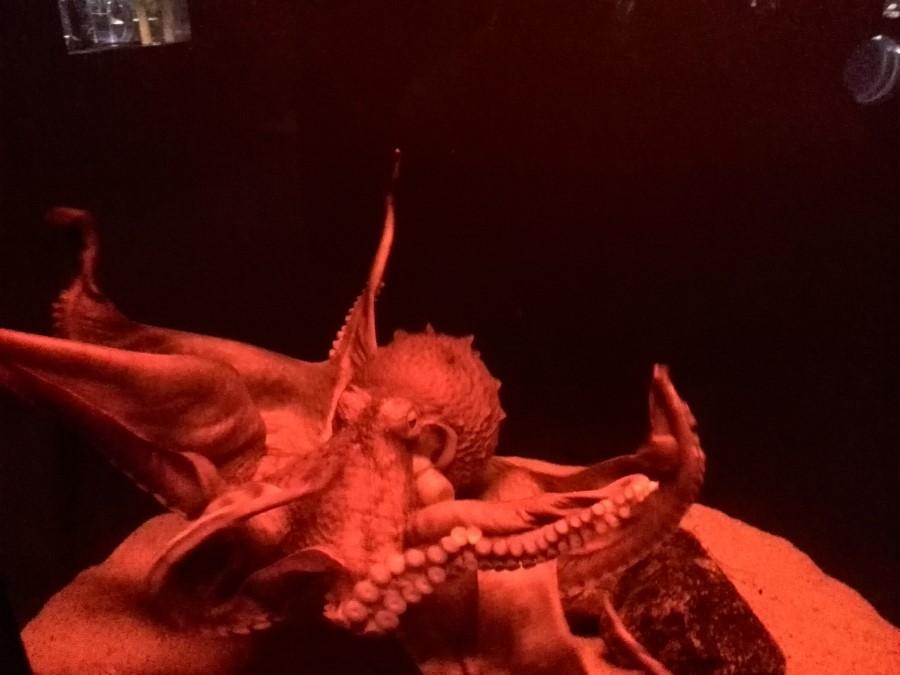 IMG_20141007_114818 octopus at the kyoto aquarium in kyoto, japan