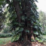 IMG_20160412_150455 interesting tree in the KwaZulu-Natal National Botanical Garden