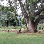 IMG_20160412_150725 huge tree in the KwaZulu-Natal National Botanical Garden