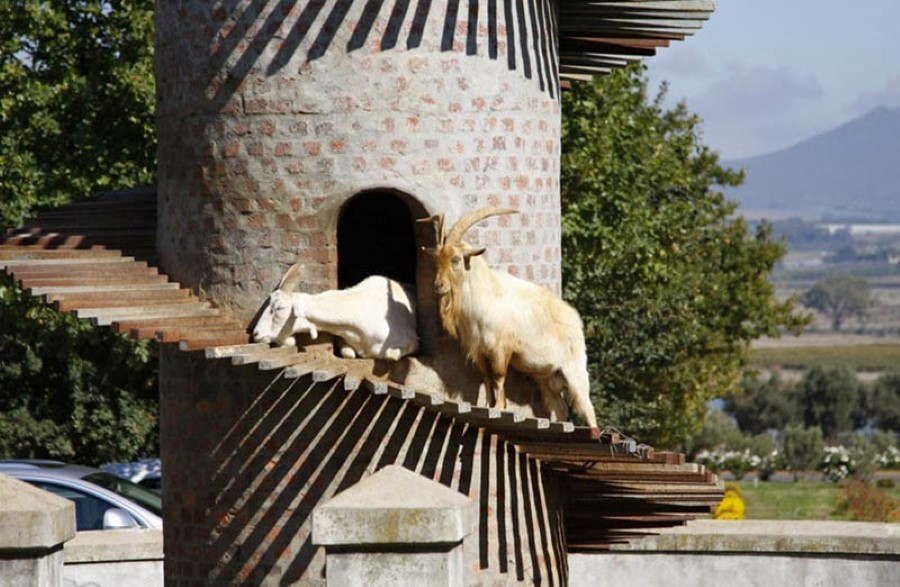 fairview wine and cheese estate goat tower 3