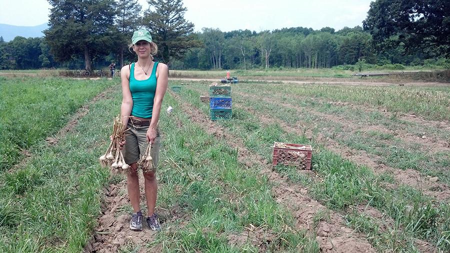 garlic field being picked